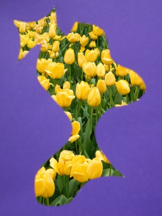 color and nature, purple with yellow tulips, 2016